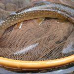 秋田県 フライ釣行レポート