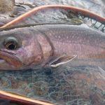 新潟県魚野川水系釣行フライレポート