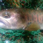 埼玉県荒川水系釣行 フライレポート