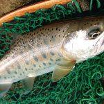 新潟県魚野川水系&信濃川水系フライレポート