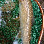 岩手県和賀川水系釣行フライレポート